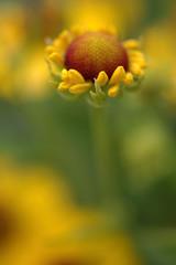 Printed roller blinds Narcissus Detailaufnahme einer gelbblühenden Sonnenbraut Helenium