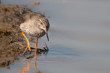 Fototapete - Red Shank Hunting