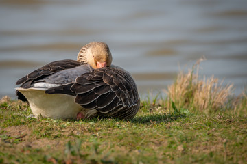 Wall Mural - Greylag Goose sleeping
