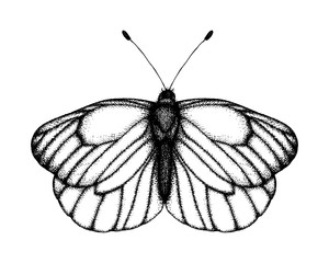 Black and white vector illustration of a butterfly. Hand drawn insect sketch. Detailed graphic drawing of black veined white in vintage style.
