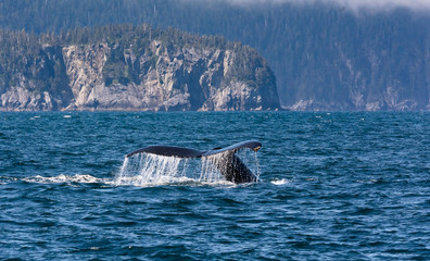 Water rolls off the upraised tail of a diving humback whale in the waters off the coast of Alaska