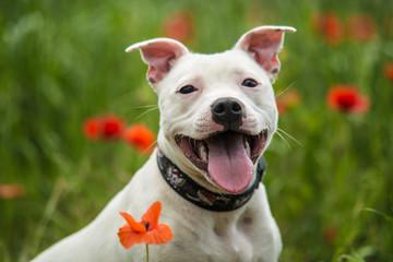 Cute staffordshire bull terrier