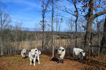 Autocollant pour porte Panda English White Cows on Rural Farm in Fall