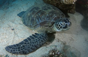 Green Sea Turtle (Chelonia mydas) sleeping on sandy bottom, Red Sea, Marsa Alam, Abu Dabab, Egypt, Africa