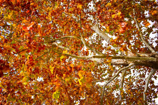 Beautiful Autumn tree with gold, yellow, and red leaves.