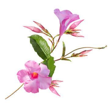 Pink Dipladenia flowers on white background
