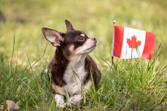 Chihuahua on grass with canadian flag.