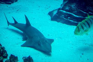 Bowmouth guitarshark swimming in aquarium