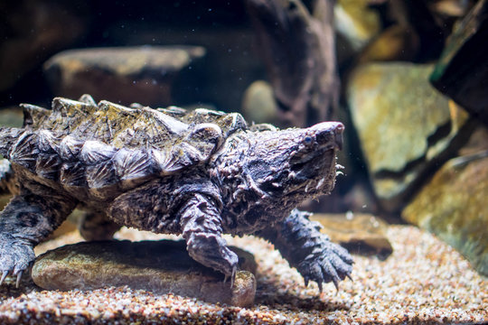 An alligator snapping turtle in tank