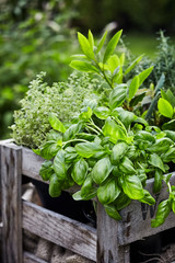 Papiers peints Jardin Fresh organic basil growing in a flowerpot