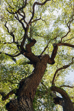 Quercus virginiana, also known as the Southern Live Oak