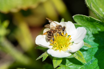 Honey bee collecting pollen from a blooming strawberry flower.