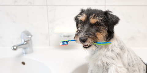 Jack Russell Terrier dog holding toothbrush . Ready to brush the teeth to avoid the need for a dentist.