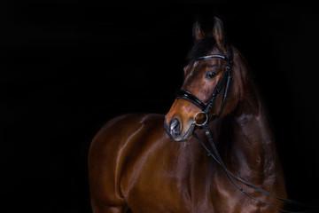 Fotobehang Paarden Pferd im Fotostudio vor schwarzem Hintergrund