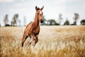 Fototapeten Pferde Pferd Fohlen gallopiert frei auf dem Feld