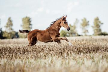 Foto auf AluDibond Pferde Pferd Fohlen auf dem Feld