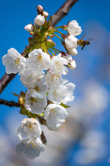 Fototapete - Bee collects nectar from flowering cherries in the spring. Flowers of cherry against the background of blue spring sky. White flowers blooming on branch.