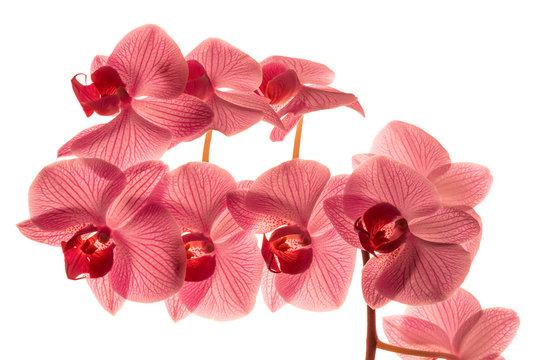 Pink orchid phalaenopsis isolated on white background