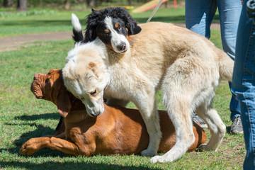Fighting of three dogs
