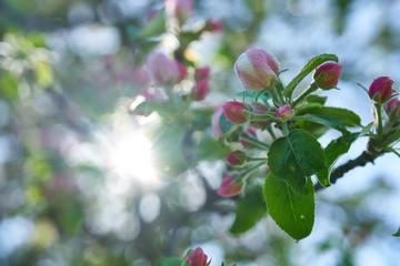 Obraz Kwiaty jabłoni w pełnym rozkwicie w piękny słoneczny dzień - fototapety do salonu