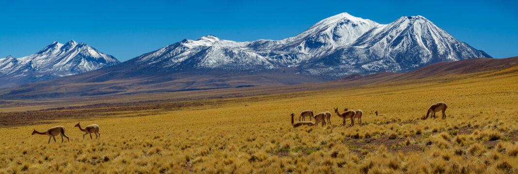 Vicugna vicugna cattle in Atacama high plateau with snow covered volcanoes
