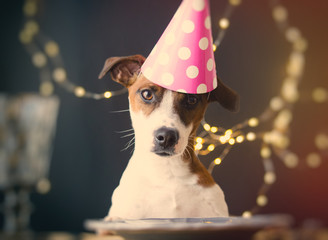 Jack Russell Terrier dog in a hat on a Birthday
