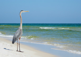 Wall Mural -  Great Blue Heron Looks Out to Sea on a Beautiful White Sand Florida Beach