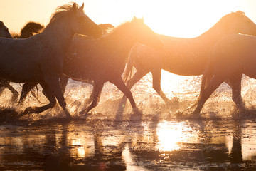 White Wild Horses of Camargue running on water, Aigues Mortes, Southern France