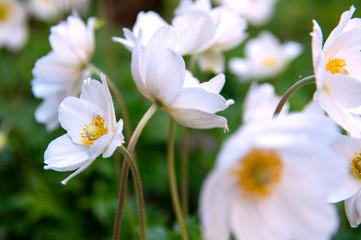 spring white anemone flowers
