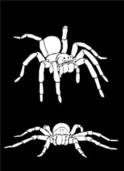 Graphical collection of tarantula isolated on black,vector spiders , tattoo,printing