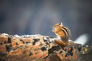 Least Chipmunk, Tamias minimus, adult eating