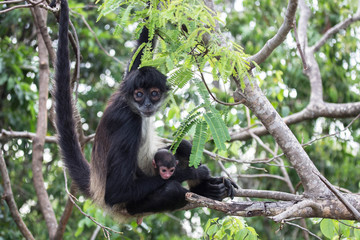 Foto op Aluminium Aap Spider monkey