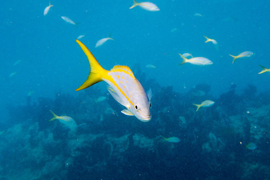 Yellowtail Snapper with School