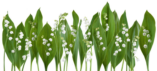 Photo sur Plexiglas Muguet de mai Beautiful fresh lily of the valley in a row isolated on white can be used as background