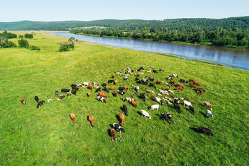 Aerial view of the herd of cows and sheep at green meadow near with river. Drone photo of plein air of river and green field with herd of cows and sheeps. Ural, Bashkiria, Russia.