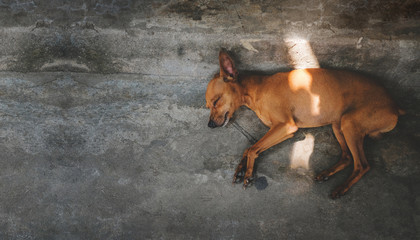 Brown Puppy Dog Sleeping on the Floor, Outside the house. Top View
