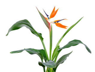 Strelitzia reginae, bird of paradise flower with green leaves isolated on a white background.