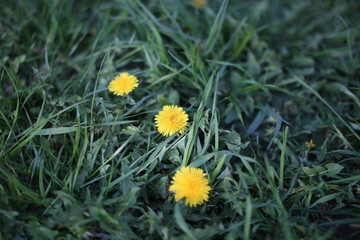 Close up of yellow dandelion flowers in garden on spring time.