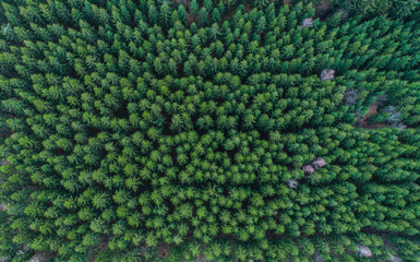 Aerial view of lined up green conifer treetops in forest, Germany