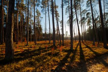 las, lasy, wiosna, jesień, bory tucholskie, drzewa, sosny, sosna, światło, cień, cienie