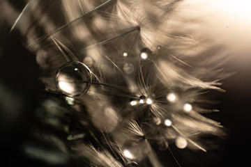 art photo of dandelion seeds with water drops close-up
