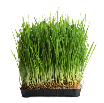 Fresh green wheat grass in container on white background