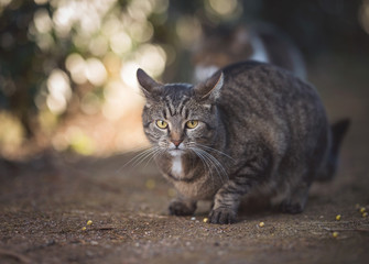 tabby domestic shorthair cat waiting on a foot path in the back yard