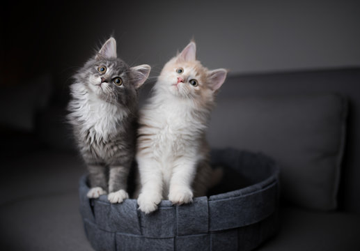 two playful maine coon kittens standing in pet bed looking into the light source curiously and tilting their heads simultaneously