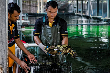 Employees inspect a hybrid grouper inside Apollo Aquaculture Group's three-tiered vertical fish farm in northern Singapore