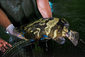 An employee holds up a hybrid grouper for inspection inside Apollo Aquaculture Group's three-tiered vertical fish farm in northern Singapore