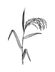 Vector Rice illustration. Hand drawn cereal sketch. Botanical drawing of gluten free plant. Vegan food. Lineart.