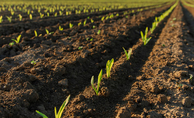 Closeup of young corn just planted, agricultural farm