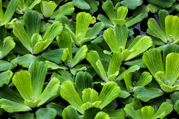 Pistia is a monotypic genus of the Aroid family Araceae . Grassy aquatic plant used in aquariums. background.