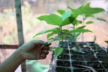 A passion fruit tree at the nursery of Kokkoya Organics, an urban organic farm in Yangon